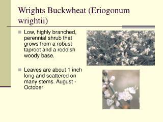 Wrights Buckwheat Eriogonum wrightii
