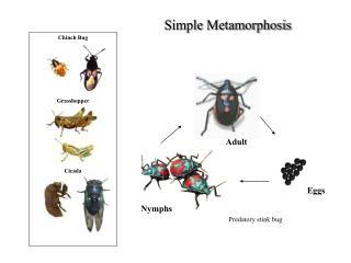 Chinch Bug         Grasshopper          Cicada