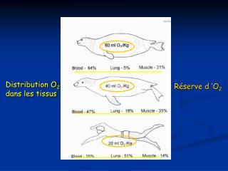 Distribution O2  dans les tissus