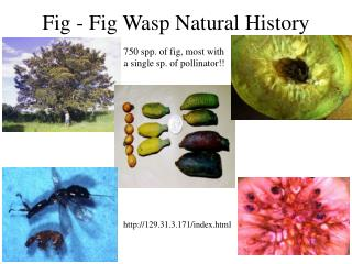 Fig - Fig Wasp Natural History