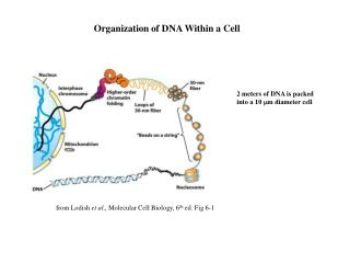 Organization of DNA Within a Cell
