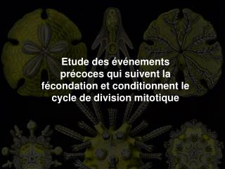 Etude des  v nements pr coces qui suivent la f condation et conditionnent le cycle de division mitotique