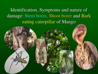 Identification, Symptoms and nature of damage: Stem borer, Shoot borer and Bark eating caterpillar of Mango