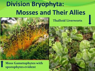 Division Bryophyta:        Mosses and Their Allies