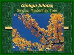 Ginkgo biloba;  Gingko; Maidenhair Tree