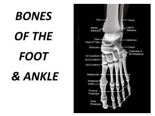BONES OF THE FOOT   ANKLE