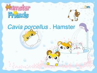 Cavia porcellus . Hamster