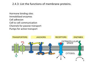 2.4.3: List the functions of membrane proteins.