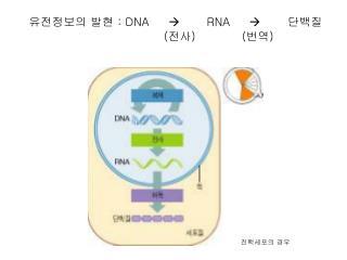 : DNA            RNA