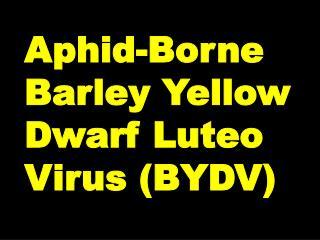 Aphid-Borne Barley Yellow Dwarf Luteo Virus BYDV