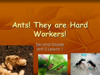 Ants They are Hard Workers