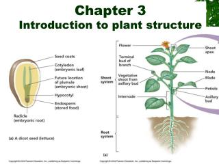 Chapter 3 Introduction to plant structure