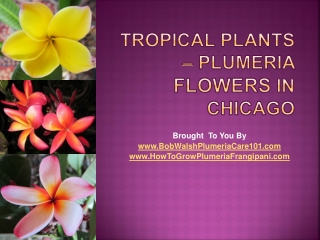 Tropical Plants - Plumeria Flowers In Chicago