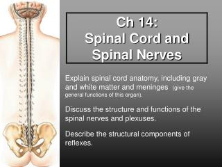 Ch 14:  Spinal Cord and Spinal Nerves