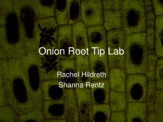 Onion Root Tip Lab
