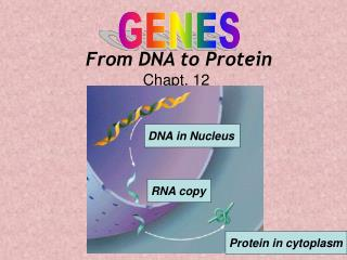 From DNA to Protein Chapt. 12