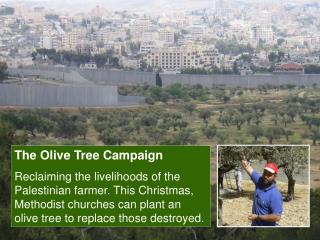 the olive tree campaign reclaiming the livelihoods of the ...