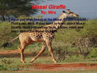 Masai Giraffe By: Mira