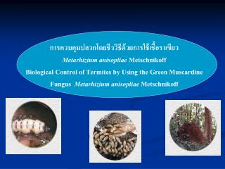Metarhizium anisopliae Metschnikoff Biological Control of Termites by Using the Green Muscardine Fungus  Metarhizium a