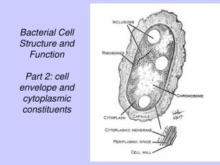 Bacterial Cell  Structure and Function  Part 2: cell envelope and cytoplasmic constituents