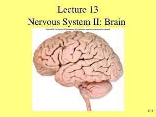 Nervous System II: Brain