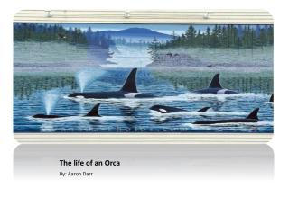 The life of an Orca