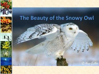 The Beauty of the Snowy Owl