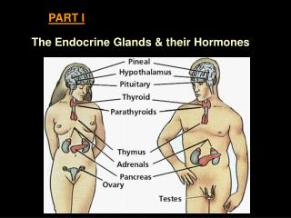 The Endocrine Glands  their Hormones
