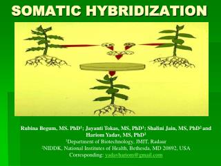 SOMATIC HYBRIDIZATION