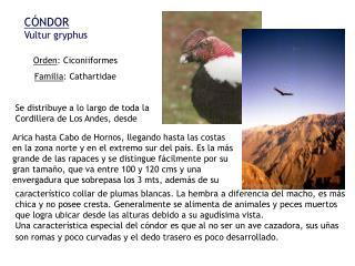 C NDOR Vultur gryphus