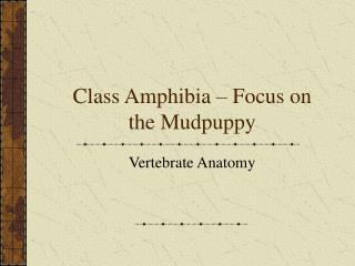 Class Amphibia   Focus on the Mudpuppy