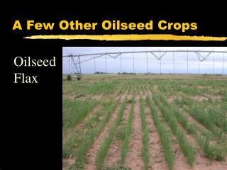 A Few Other Oilseed Crops