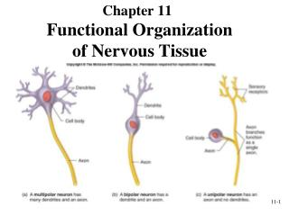 Functional Organization  of Nervous Tissue