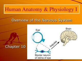 Human Anatomy  Physiology I