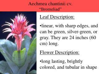 Aechmea chantinii cv.  Bromeliad