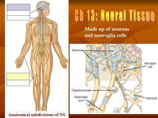 Ch 13: Neural Tissue
