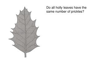 Do all holly leaves have the same number of prickles
