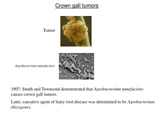 Crown gall tumors