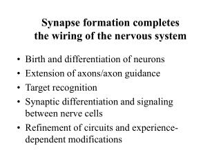 Synapse formation completes the wiring of the nervous system
