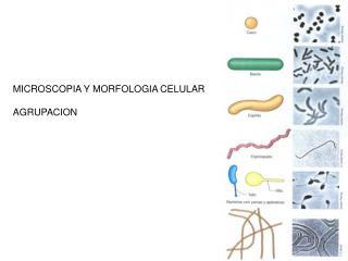 MICROSCOPIA Y MORFOLOGIA CELULAR  AGRUPACION