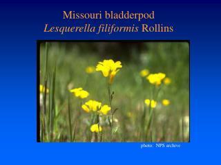 Missouri bladderpod Lesquerella filiformis Rollins