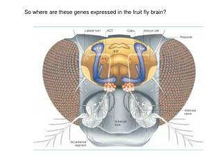 So where are these genes expressed in the fruit fly brain