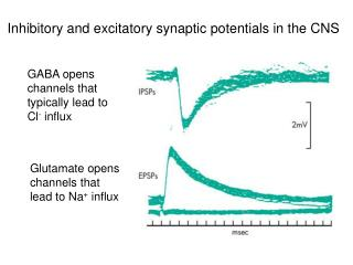 Glutamate opens channels that lead to Na  influx