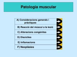 Musculatura esquel tica: Fibres musculars esquel tiques: c l lules llargues i multinucleades, amb els nuclis situats en