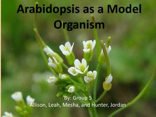 Arabidopsis as a Model Organism