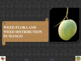 WEED FLORA AND WEED DISTRIBUTION IN MANGO