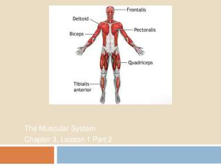 The Muscular System Chapter 3, Lesson 1 Part 2