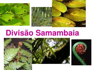 Divis o Samambaia