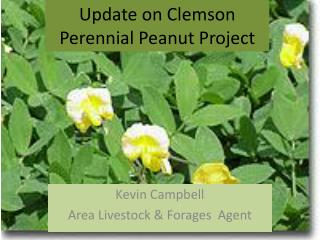 Update on Clemson Perennial Peanut Project