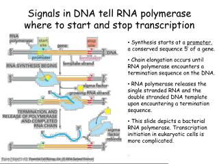 Signals in DNA tell RNA polymerase where to start and stop transcription